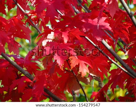 Autumn leaves. Red maple