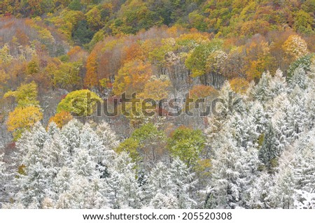 Autumn Leaves With Rime