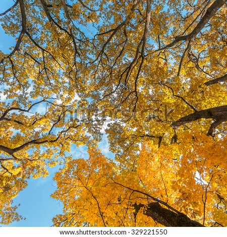 Autumn leaves with the blue sky background. Autumn branches in a wood. - stock photo