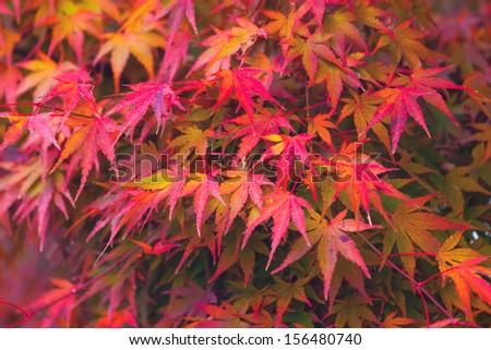 Autumn maple  - stock photo