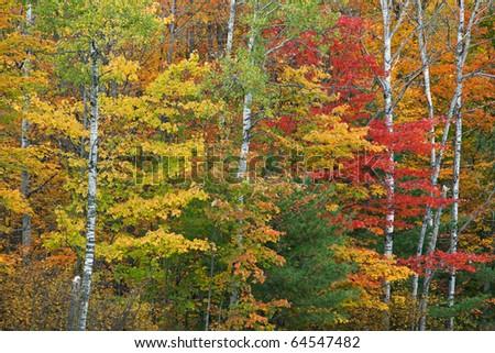 Autumn maple and aspen forest Michigan's Upper Peninsula, USA - stock photo