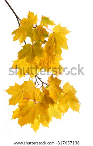 Autumn maple branch with golden leaves on white background.  - stock photo