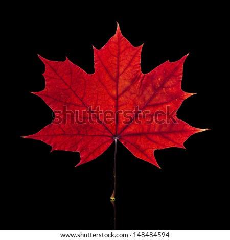 Autumn maple leaf isolated on black background  - stock photo