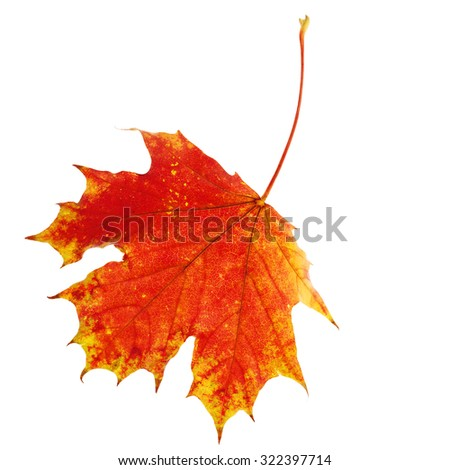 Autumn Maple Leaf Isolated on White - stock photo