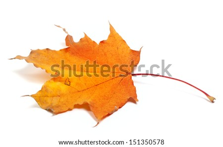 Autumn maple leaf isolated on white background - stock photo