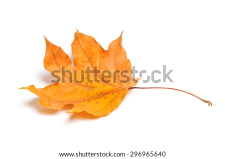 Autumn maple leaf isolated on white background. - stock photo