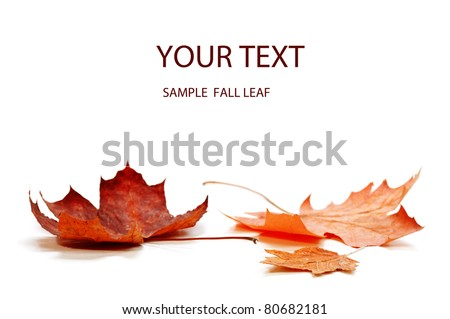 autumn maple leaf isolated on white background