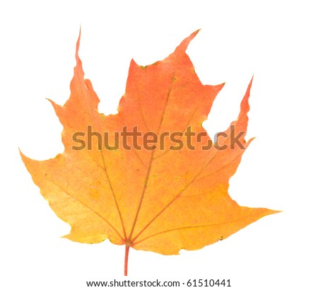 Autumn maple leaf it is isolated on a white background.
