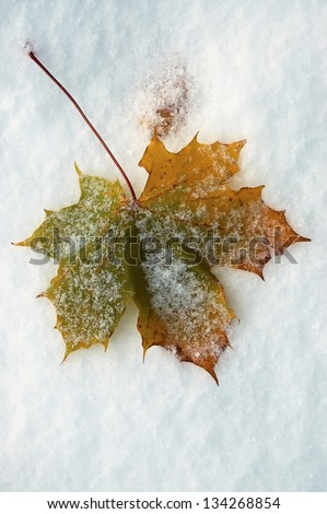 autumn maple leaf lying in the snow - stock photo
