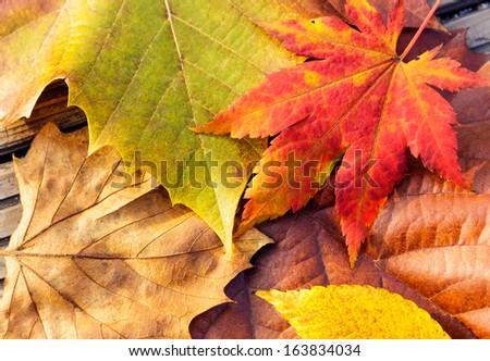 Autumn maple leave - stock photo