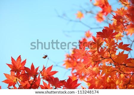 Autumn maple leaves - stock photo