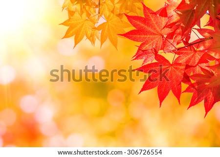 Autumn maple leaves. - stock photo