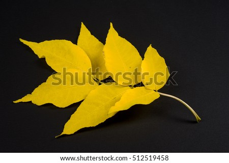 Autumn maple leaves. Acer mandshuricum. Manchurian maple, is a species of maple native to China,