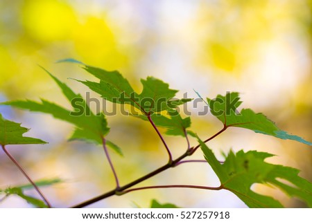Autumn maple leaves and branches closeup