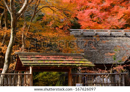 autumn maple leaves are on the japan style roof with colorful maple tree background
