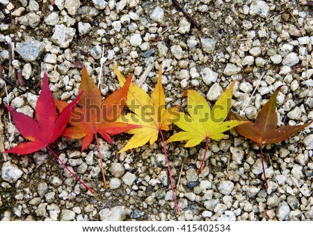 Autumn maple leaves at different stages of colour changing. - stock photo