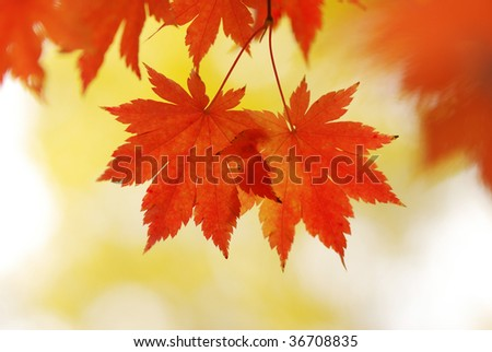 Autumn maple leaves in sunlight