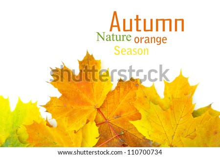 autumn maple leaves isolated on a white - stock photo