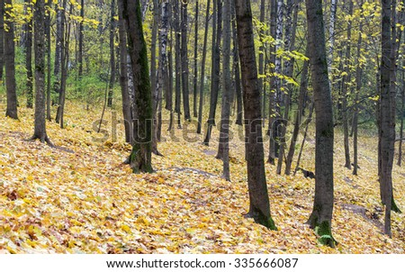 Autumn maple leaves lie in forest in blurred vignette