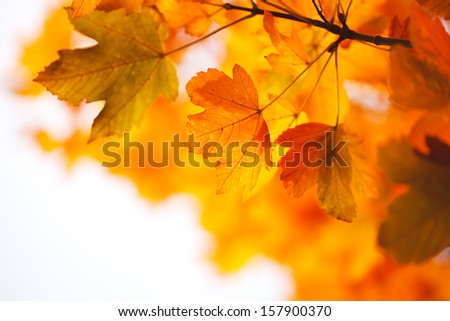 Autumn maple leaves. Natural background.