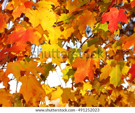 Autumn Maple Leaves. Outdoor. Fall Background