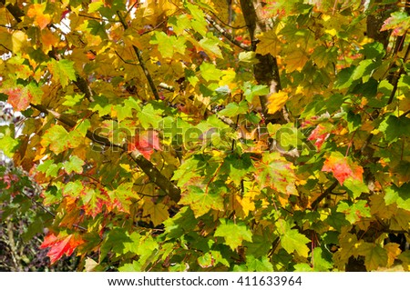 Autumn maple leaves texture. Yellow and green foliage of early fall season background, wallpaper - stock photo