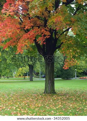 Autumn maple tree in the park - stock photo