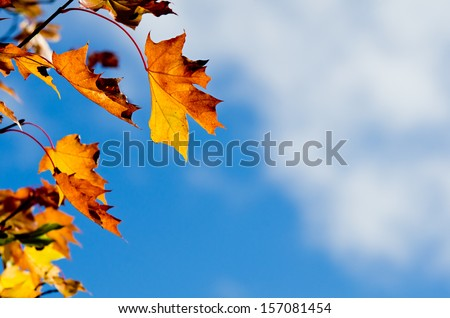 Autumn maple tree leaves on a tree branch blowing against blue sky and white clouds, copy space - stock photo