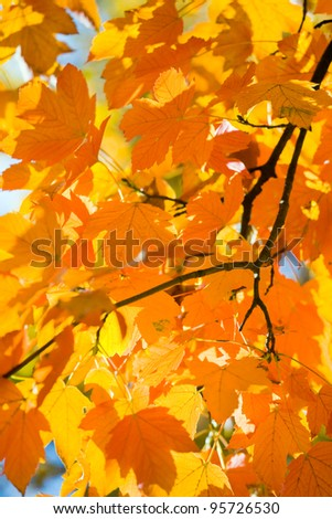 autumn maple trees (closeup) in autumn city park
