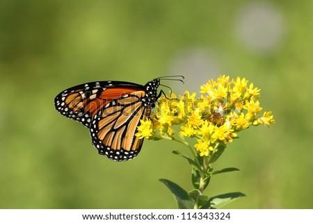 Autumn Monarch - stock photo
