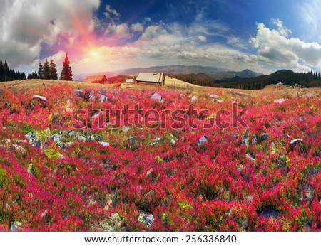 autumn morning frosts - the leaves lingonberry in alpine heaths  painted in orange and purple golden hue at sunset and sunrise, beautiful carpet on the wild mountain ranges of the Carpathians Ukraine