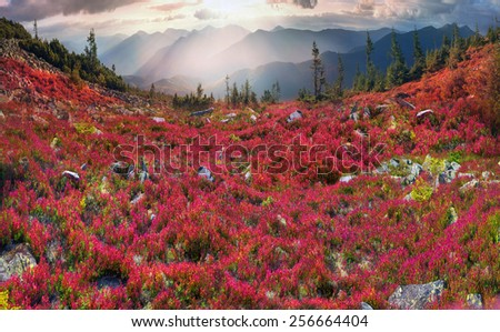 autumn morning frosts - the leaves of blueberry and lingonberry in alpine heaths are painted  purple golden hue at sunset  sunrise, beautiful carpet on  wild mountain ranges of the Carpathians Ukraine