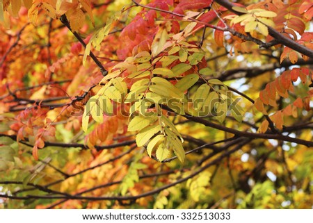autumn mountain ash tree, leaves