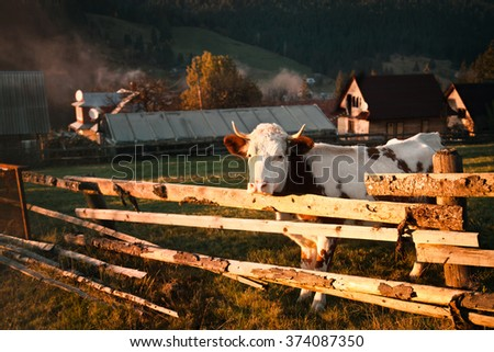Autumn mountain landscape with a cow at sunset - stock photo
