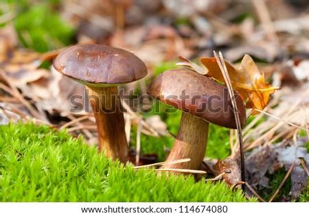 Autumn  mushroom grow in the moss - stock photo
