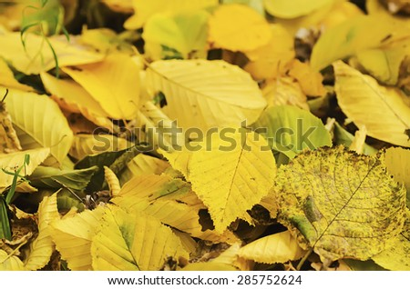 Autumn natural seasonal background with colorful  yellow leaves