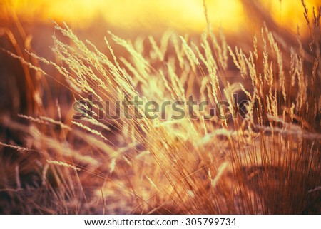 Autumn Nature Natural Background Of Dry Grass. Bokeh, Boke Grass With Sunlight Colors Toned Image