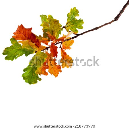 Autumn Oak branch isolated on white background - stock photo
