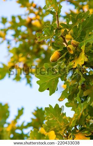 Autumn oak foliage on a blue sky background - stock photo