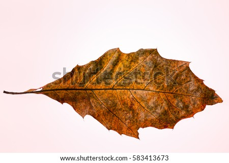 Autumn oak leaf over a red background