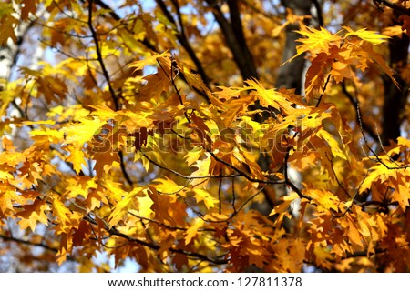 autumn oak leafs golden colors - stock photo