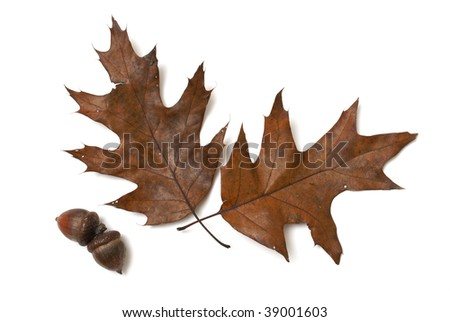 Autumn Oak Leaves and Acorns - stock photo