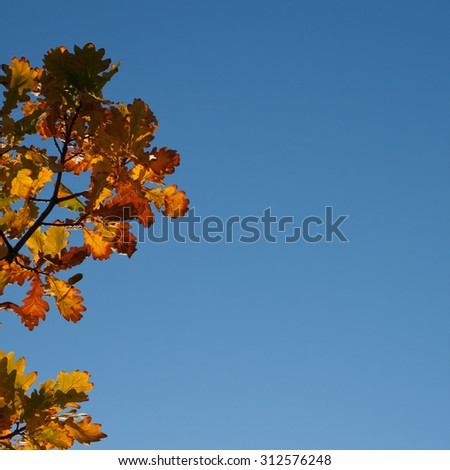 Autumn Oak Leaves on blue sky background with copy space - stock photo