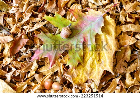 Autumn Oak tree leaves and acorn on a carpet of dry linden leaves - stock photo
