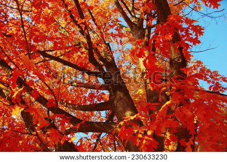 Autumn oak tree with red leaves - stock photo
