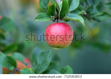autumn: one red apple hanging from a tree