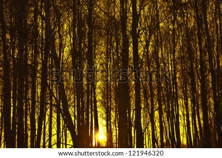 Autumn or winter design background trees backdrop in the late colorful afternoon during sunset - stock photo