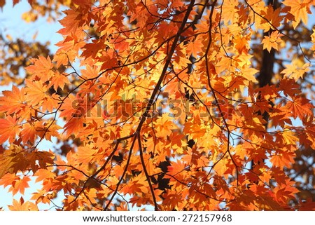 Autumn orange leaves