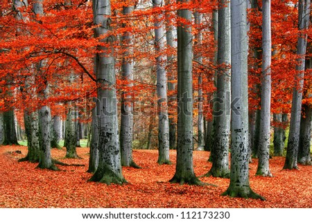 Autumn park of red beech trees. - stock photo