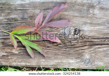 Autumn Peony Plant Leaves on the Old Board - stock photo